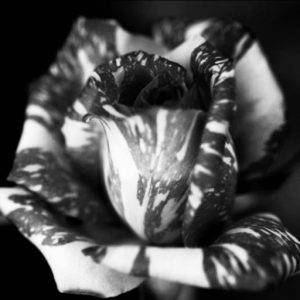 Black and white photo of striped rose